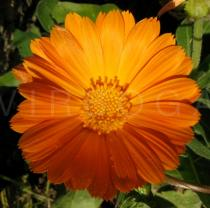 Calendula officinalis - Flower head - Click to enlarge!