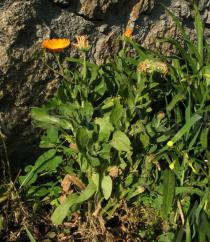 Calendula officinalis - Habit - Click to enlarge!