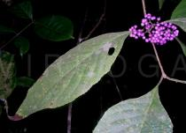 Callicarpa bodinieri - Upper surface of leaf - Click to enlarge!