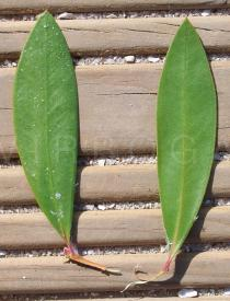 Callistemon citrinus - Top and lower side of leaf - Click to enlarge!