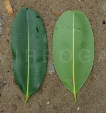 Calophyllum inophyllum - Upper and lower surface of leaf - Click to enlarge!