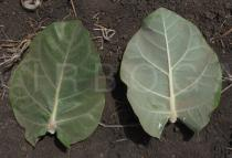 Calotropis gigantea - Upper and lower surface of leaf - Click to enlarge!