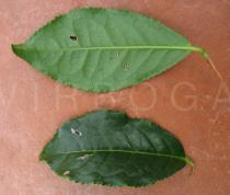 Camellia sinensis - Upper and lower side of leaf - Click to enlarge!