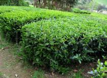 Camellia sinensis - Habit in plantation - Click to enlarge!
