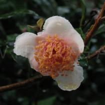 Camellia sinensis - Fading flower - Click to enlarge!