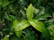 Camellia sinensis - Foliage - Click to enlarge!