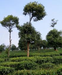 Camellia sinensis - Shade trees in tea plantations - Click to enlarge!
