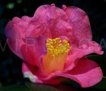 Camellia x williamsii - Flower - Click to enlarge!