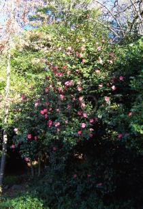 Camellia x williamsii - Habit - Click to enlarge!