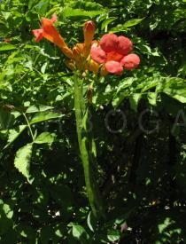 Campsis x tagliabuana - Flowers and pods - Click to enlarge!