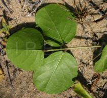 Canavalia rosea - Lower surface of leaf - Click to enlarge!