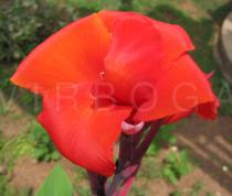 Canna x generalis - Flower - Click to enlarge!