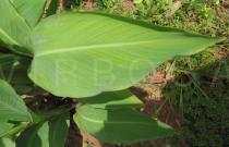 Canna x generalis - Leaf - Click to enlarge!