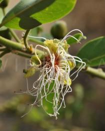 Capparis tomentosa - Flower - Click to enlarge!