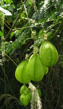 Cardiospermum grandiflorum - Unripe inflated capsules - Click to enlarge!