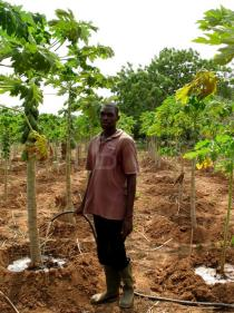 Carica papaya - Irrigation of adult trees - Click to enlarge!