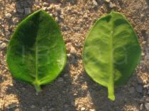 Carissa macrocarpa - Upper and lower surface of leaf - Click to enlarge!