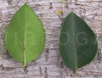 Carissa spinarum - Upper and lower surface of leaf - Click to enlarge!