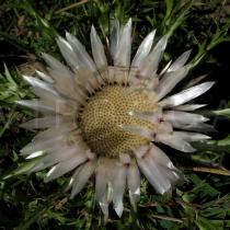 Carlina acaulis - Flower head, prior to anthesis - Click to enlarge!