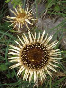 Carlina vulgaris - Flower heads - Click to enlarge!