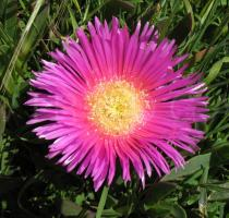 Carpobrotus acinaciformis - Flower - Click to enlarge!