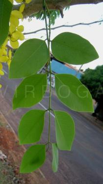 Cassia fistula - Leaf - Click to enlarge!