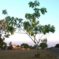 Cassia fistula - Habit of road side tree - Click to enlarge!
