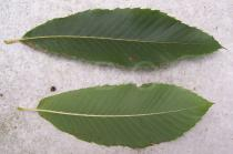 Castanea sativa - Top and lower side of leaf - Click to enlarge!