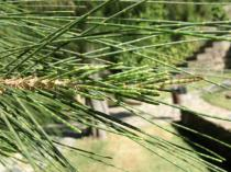 Casuarina equisetifolia - Green twigs bearing minute scale-leaves in whorls - Click to enlarge!