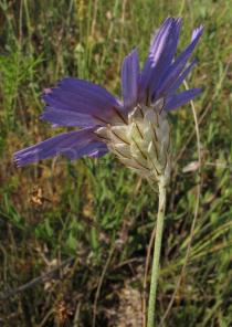 Catananche caerulea - Flowerhead, side view - Click to enlarge!