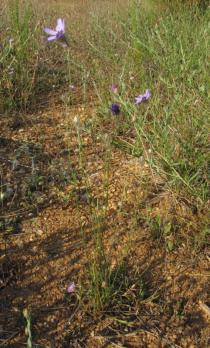 Catananche caerulea - Habit - Click to enlarge!
