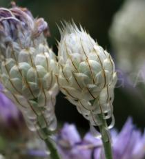 Catananche caerulea - Infructescence - Click to enlarge!