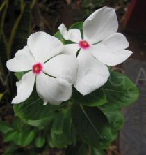 Catharanthus roseus - Flowers - Click to enlarge!