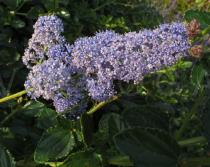 Ceanothus thyrsiflorus - Inflorescence - Click to enlarge!