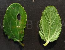 Ceanothus thyrsiflorus - Upper and lower surface of leaf - Click to enlarge!