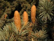 Cedrus atlantica - Male cones - Click to enlarge!