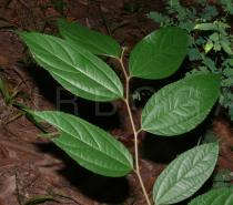 Celtis biondii - Upper surface of leaves - Click to enlarge!