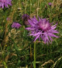 Centaurea jacea - Stem section - Click to enlarge!