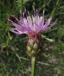 Centaurea limbata - Flower head, side view - Click to enlarge!