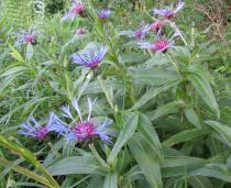 Centaurea montana - Habit - Click to enlarge!