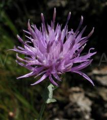 Centaurea paniculata - Flower head - Click to enlarge!