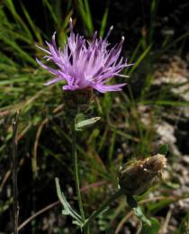 Centaurea paniculata - Flower, side view - Click to enlarge!