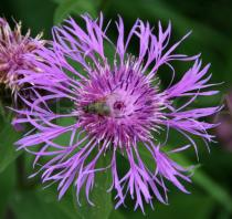 Centaurea phrygia - Flower head - Click to enlarge!