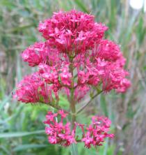 Centranthus ruber - Inflorescence - Click to enlarge!
