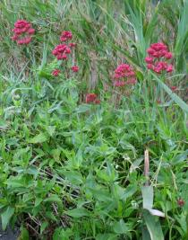 Centranthus ruber - Habit - Click to enlarge!