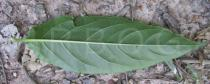 Centropogon cornutus - Lower surface of leaf - Click to enlarge!