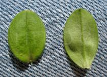 Cerastium glomeratum - Upper and lower surface of leaf - Click to enlarge!