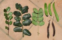 Ceratonia siliqua - Leaves and pods - Click to enlarge!