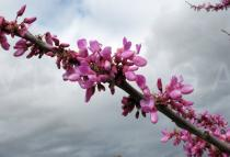 Cercis siliquastrum - Branch with flowers - Click to enlarge!