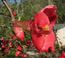Chaenomeles speciosa - Flower, side view - Click to enlarge!
